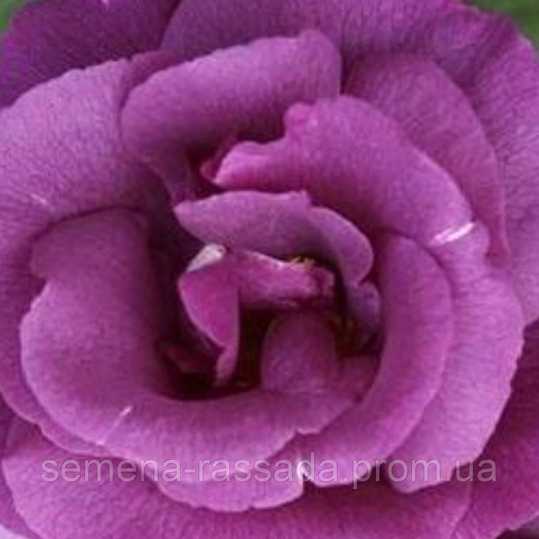 Роза флорибунда Рапсодия саженец   - Магазин растений - саженцы, рассада, семена. Любимый Сад в Мелитополе