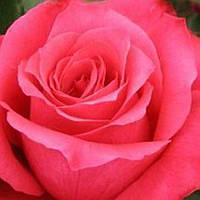 Роза чайно-гибридная Высоцкого ( Венроза) саженец