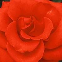 Роза чайно-гибридная Корвет саженец