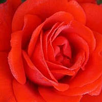 Роза чайно-гибридная Кордес Брилиант саженец