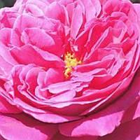 Роза плетистая Лагуна саженец