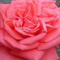 Роза чайно-гибридная Муви Стар / Movie Star саженец