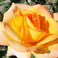Роза чайно-гибридная Луи де Фюнес саженец