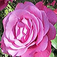 Роза чайно-гибридная Вандер Блю / Wonder Blue саженец