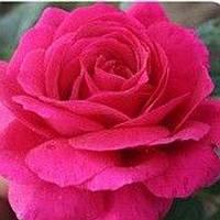 Роза чайно-гибридная Биг Перпл саженец