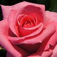 Роза чайно-гибридная Карина саженец