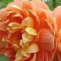 Роза английская Пет Остин саженец