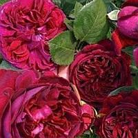 Роза английская Фальстаф саженец