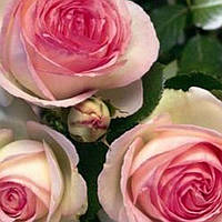 Роза английская Эден Роуз саженец