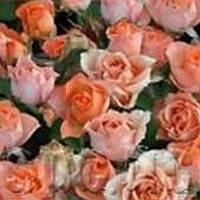 Роза бордюрная Алегрия саженец
