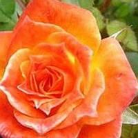 Роза бордюрная Колибри саженец