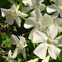 Барвинок крупнолистный с белыми цветами саженец