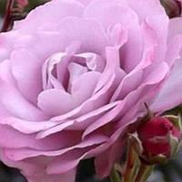 Роза бордюрная Лавандер Джоэл саженец