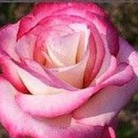 Роза плетистая Хендель саженец