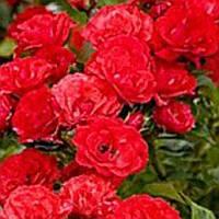 Роза почвопокровная Скарлет Мейяндекор саженец