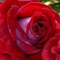 Роза чайно-гибридная Альянс саженец