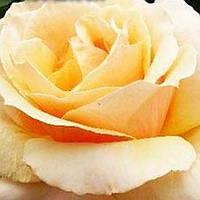 Роза чайно-гибридная Голден Медальон саженец