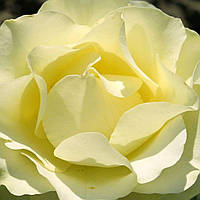 Роза чайно-гибридная Лимбо саженец