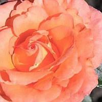Роза чайно-гибридная Наранга саженец
