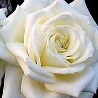 Роза чайно-гибридная Полар Стар саженец