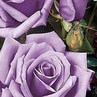 Роза чайно-гибридная Сент Экзюпери саженец