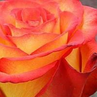 Роза чайно-гибридная Циркус саженец