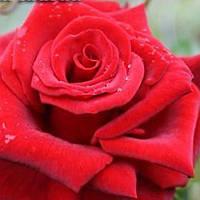 Роза чайно-гибридная Черная Магия саженец