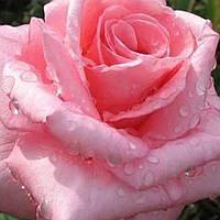 Роза чайно-гибридная Эйфелева Башня саженец