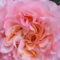 Роза чайно-гибридная Августа Луиза саженец