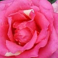 Роза чайно-гибридная Шок Версилия саженец