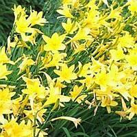 Лилейник жёлтый весенний саженец