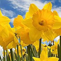 Нарцисс желтый трубчатый луковица