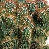 Кактус Цериус перуанский монстрозная форма до 15 см саженец