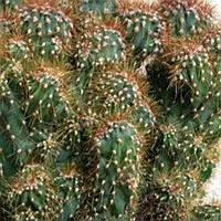 Кактус Цериус перуанский монстрозная форма до 15 см