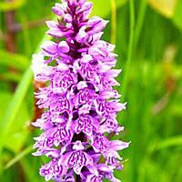 Ятрышник пятнистый – дикая орхидея клубень  , фото 1