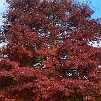 Дуб Красный сеянцы 10-20 см саженец