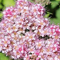 Спирея Бумальда розовая карликовая / Spiraea bumalda однолетний саженец саж