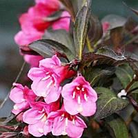 Вейгела цветущая Александра саженец