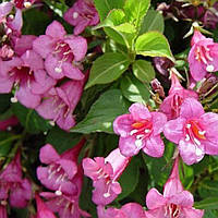 Вейгела розовая саженец