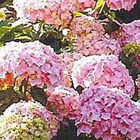 Гортензия древовидная розовая хамелион саженец