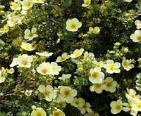 Лапчатка кустарниковая Примроуз Бьюти / Potentilla fruticosa Primrose Beauty