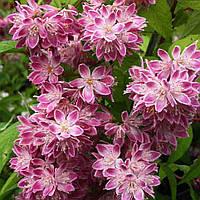 Дейция гибридная Строберри Филдс / Deutzia  hybrida Strawberry Fields