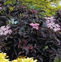 Бузина черная Блэк Бьюти / Sambucus nigra Black Beauty, Gerda
