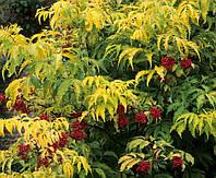 Бузина красная Сазерленд Голд / Sambucus racemosa Sutherland Gold