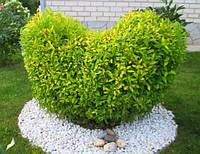 Бирючина обыкновенная Ауреум / Ligustrum vulgare Aureum С7,5л, 40см