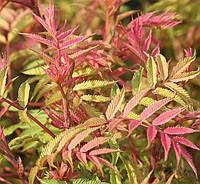 Рябинник рябинолистный Сэм / Sorbaria sorbifolia Sem