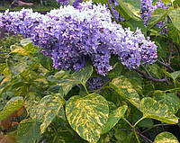 Сирень обыкновенная Аукубафолия / Syringa vulgaris Aucubaefolia