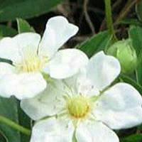 Лапчатка травянистая белая (Пятипал) саж