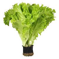 АФИЦИОН / AFICION - салат, Rijk Zwaan 5 грамм семян