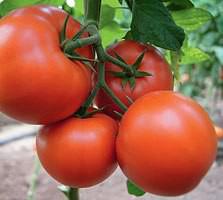 Бостина F1 - семена томата, Syngenta